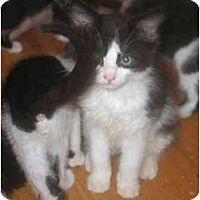 Adopt A Pet :: Cinderella - Davis, CA