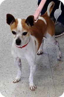 Chihuahua/Jack Russell Terrier Mix Dog for adoption in Costa Mesa, California - Triumph
