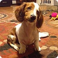 Adopt A Pet :: Laila - Philadelphia, PA