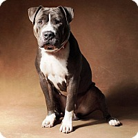 Adopt A Pet :: Bosley - West Los Angeles, CA