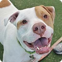 Adopt A Pet :: PONGOLO - Las Vegas, NV