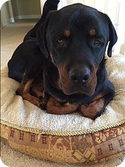 Rottweiler dog for adoption in santa ana california nick