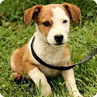 Adopt A Pet :: Lil Bitt - Harrisonburg, VA