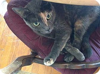 American Shorthair Cat for adoption in New York, New York - SweetiePie