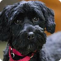 Cocker Spaniel/Standard Poodle Mix Dog for adoption in Colorado Springs, Colorado - Elvira