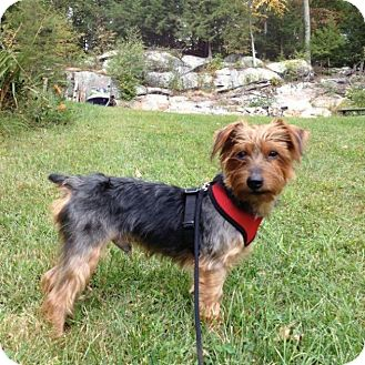 Yorkie, Yorkshire Terrier Mix Dog for adoption in Ardsley, New York - Mr. Magoo