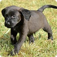 Adopt A Pet :: Pete - Mechanicsburg, PA