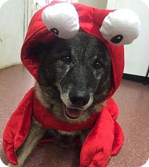Norwegian Elkhound Dog for adoption in Pottstown, Pennsylvania - Joe