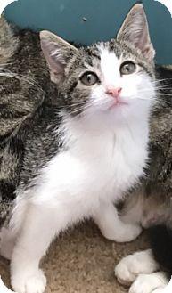 Domestic Shorthair Kitten for adoption in Whitehall, Pennsylvania - Margate