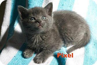 Domestic Shorthair Kitten for adoption in Thornhill, Ontario - Pixel