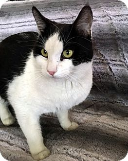 Domestic Shorthair Cat for adoption in North Las Vegas, Nevada - Brodie