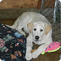 Great Pyrenees Mix Puppy for adoption in Granite Bay, California - COPPER