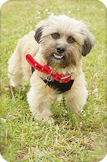 Brussels Griffon Mix Dog for adoption in Davie, Florida - Mitzi