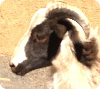 Sheep for adoption in Newcastle, California - Hercules