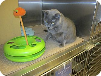 Domestic Shorthair Cat for adoption in Warminster, Pennsylvania - Ci Ci