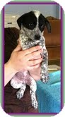 Australian Cattle Dog/Beagle Mix Puppy for adoption in Windham, New Hampshire - Wendy