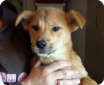Retriever (Unknown Type)/Shepherd (Unknown Type) Mix Puppy for adoption in Houston, Texas - Jada
