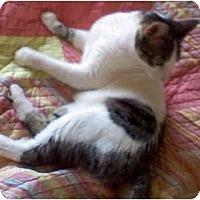 Adopt A Pet :: Laci - St. Louis, MO