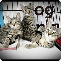 Adopt A Pet :: Drax, Quill, & Rocket - Richmond, VA