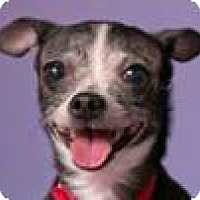 Rat Terrier Mix Dog for adoption in Chicago, Illinois - Susan