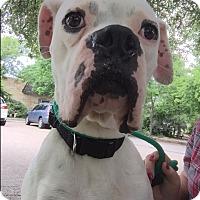 Adopt A Pet :: Rugby - Austin, TX