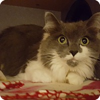 Ragdoll Cat for adoption in Lexington, Kentucky - Gracie