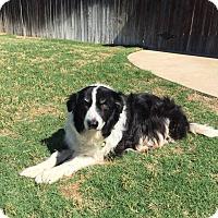 Adopt A Pet :: Bronco - Allen, TX