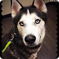 Adopt A Pet :: Neiko - Sycamore, IL