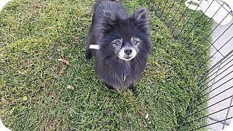 Pomeranian Dog for adoption in Denver, Colorado - Sammy