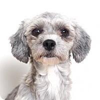 Shih Tzu/Poodle (Miniature) Mix Dog for adoption in Edina, Minnesota - Chrissy D161231