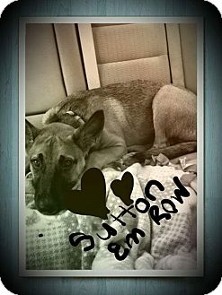 Belgian Malinois Mix Dog for adoption in fort wayne, Indiana - Sutton