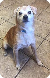 Chihuahua/Beagle Mix Dog for adoption in Joplin, Missouri - Trey 110292