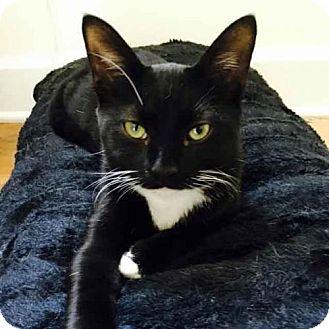 Domestic Shorthair Cat for adoption in Arlington, Virginia - Tux