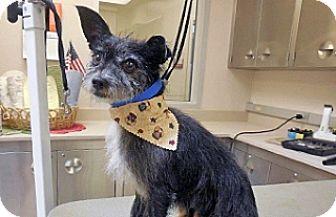 Norfolk Terrier Mix Dog for adoption in Wildomar, California - Blackie