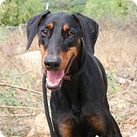 Adopt A Pet :: Kingston - Fillmore, CA