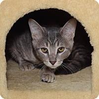 Domestic Shorthair Kitten for adoption in Wichita, Kansas - Rayne