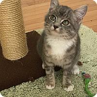Adopt A Pet :: Kit - Summerville, SC