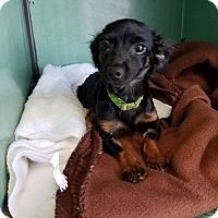 Adopt A Pet :: PETEY - Lubbock, TX