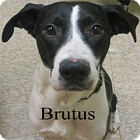 Adopt A Pet :: Brutus - Warren, PA