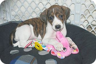 Foxhound/Beagle Mix Puppy for adoption in Minneola, Florida - Penny