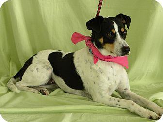 Fox Terrier (Smooth) Mix Dog for adoption in Princeton, Kentucky - Pandora