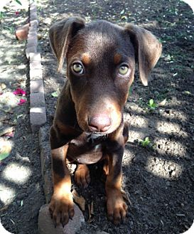 Doberman Pinscher Mix Puppy for adoption in Inglewood, California - Jade