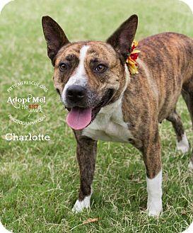 Akita/Corgi Mix Dog for adoption in Gilbert, Arizona - Charlotte