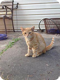 Domestic Mediumhair Cat for adoption in Colonial Beach, Virginia - OJ
