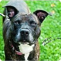 Adopt A Pet :: Hogie Hogan - Shavertown, PA