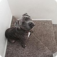 Adopt A Pet :: BALOO - Encino, CA