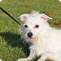 Adopt A Pet :: Bentley - Tumwater, WA
