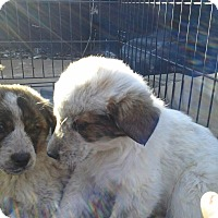 Adopt A Pet :: 3 gpy puppies - Pompton lakes, NJ