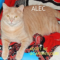 British Shorthair Cat for adoption in Holden, Missouri - Alec