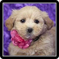 Adopt A Pet :: Angie - Costa Mesa, CA